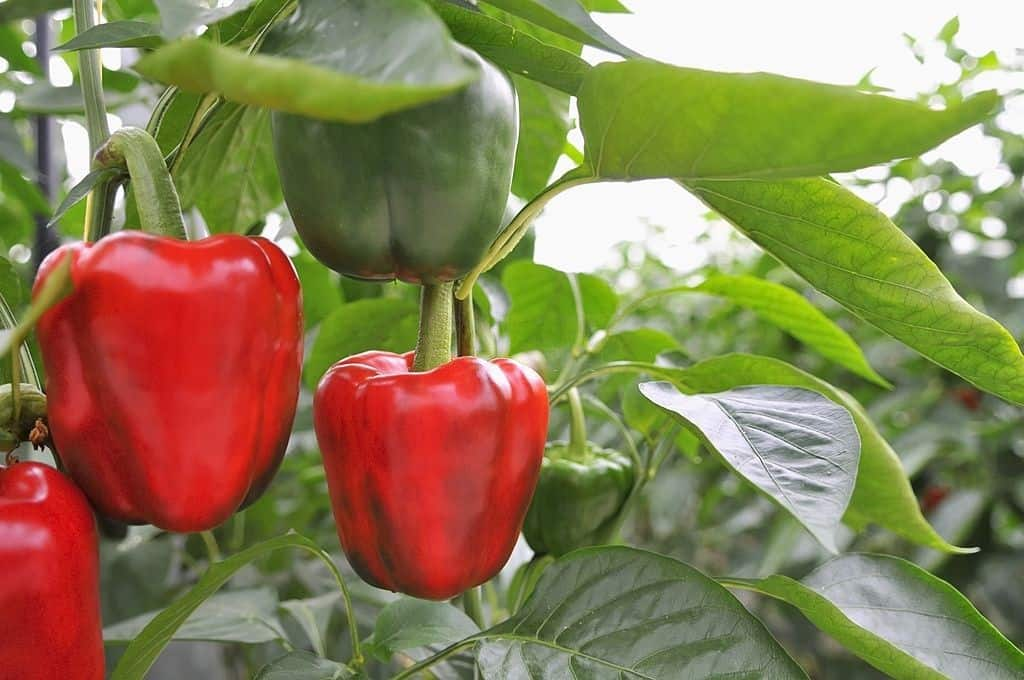 how much sunlight do pepper plants need