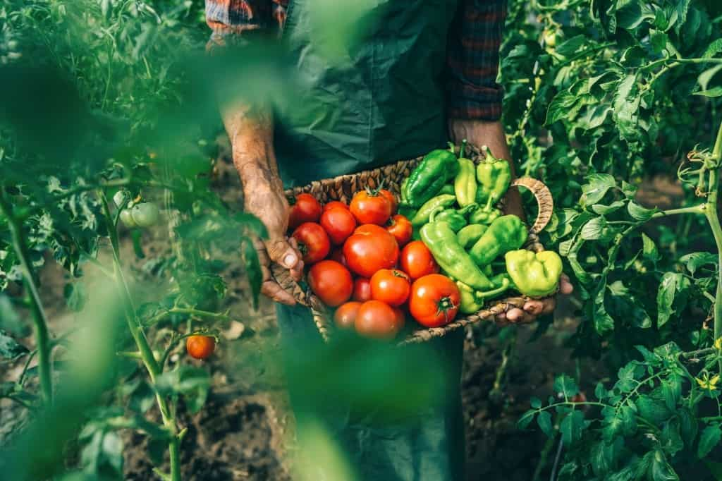 planting tomatoes and peppers together