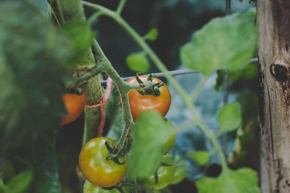 tomato pepper hybrid
