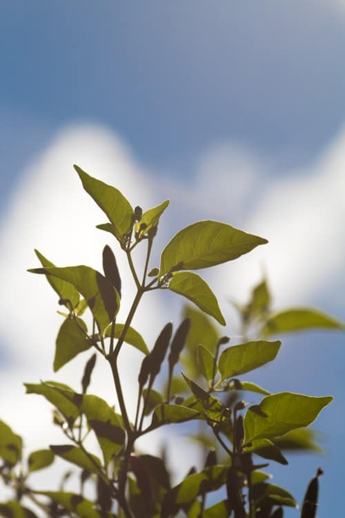 green leafed chili pepper plant