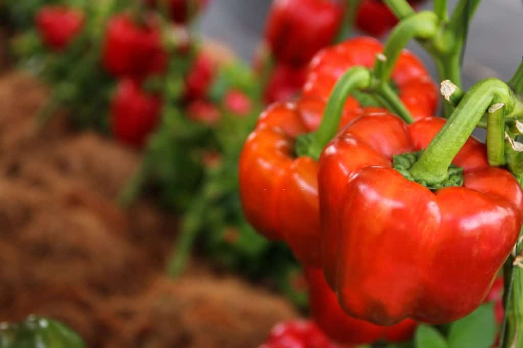 how to tell what kind of pepper plant you have