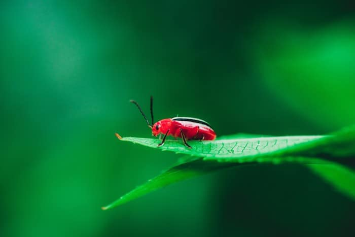 red cardinal beetle on green leaf