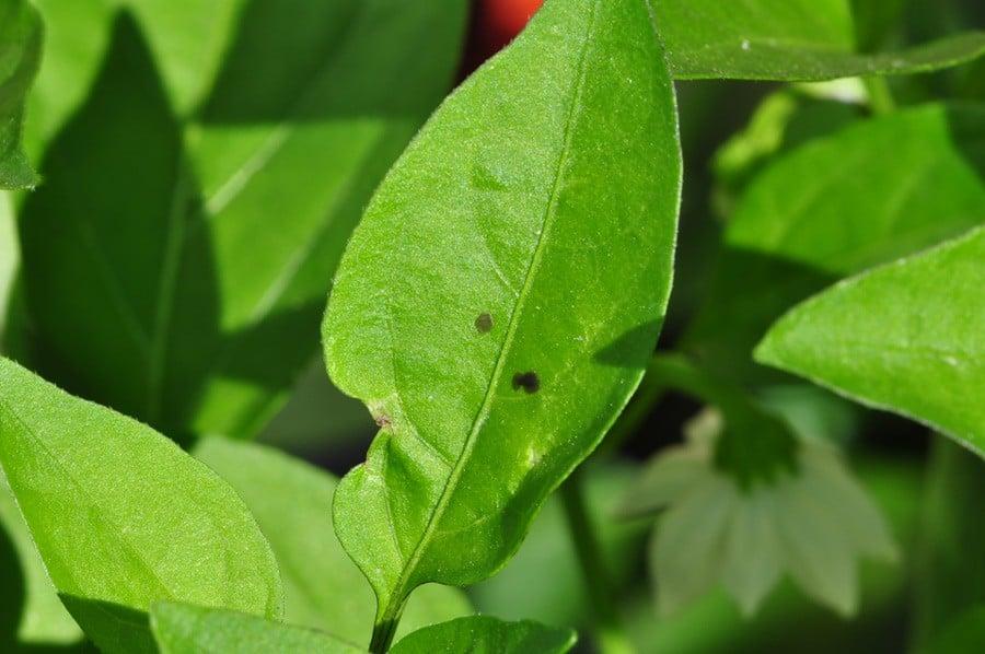 tiny black spots on pepper leaves