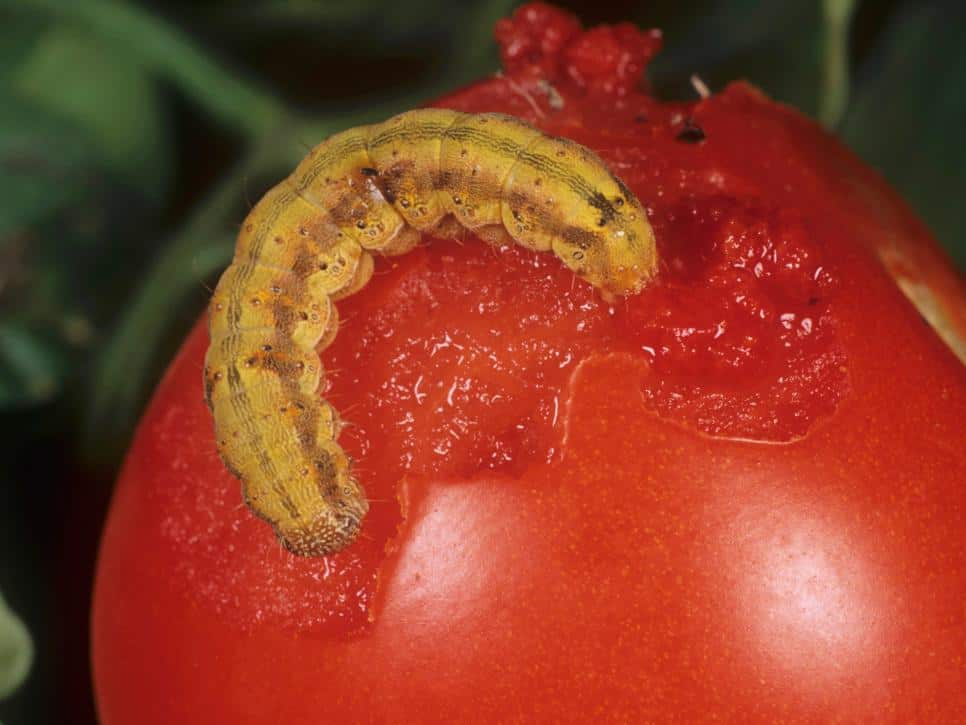 how to get rid of tomato fruitworm