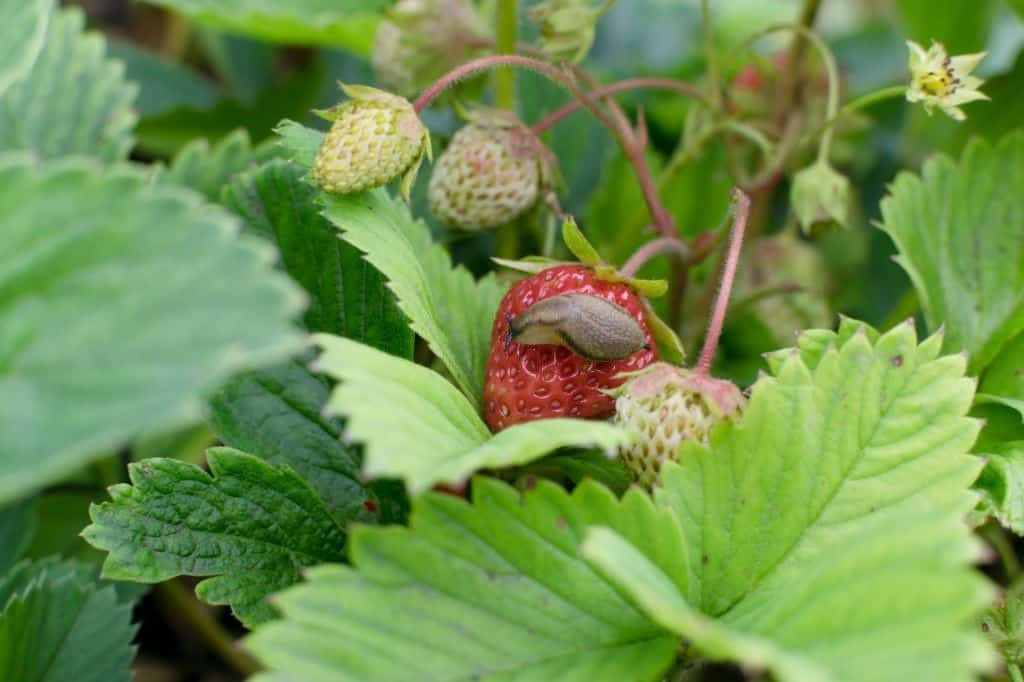 how to keep slugs off strawberry plants organically