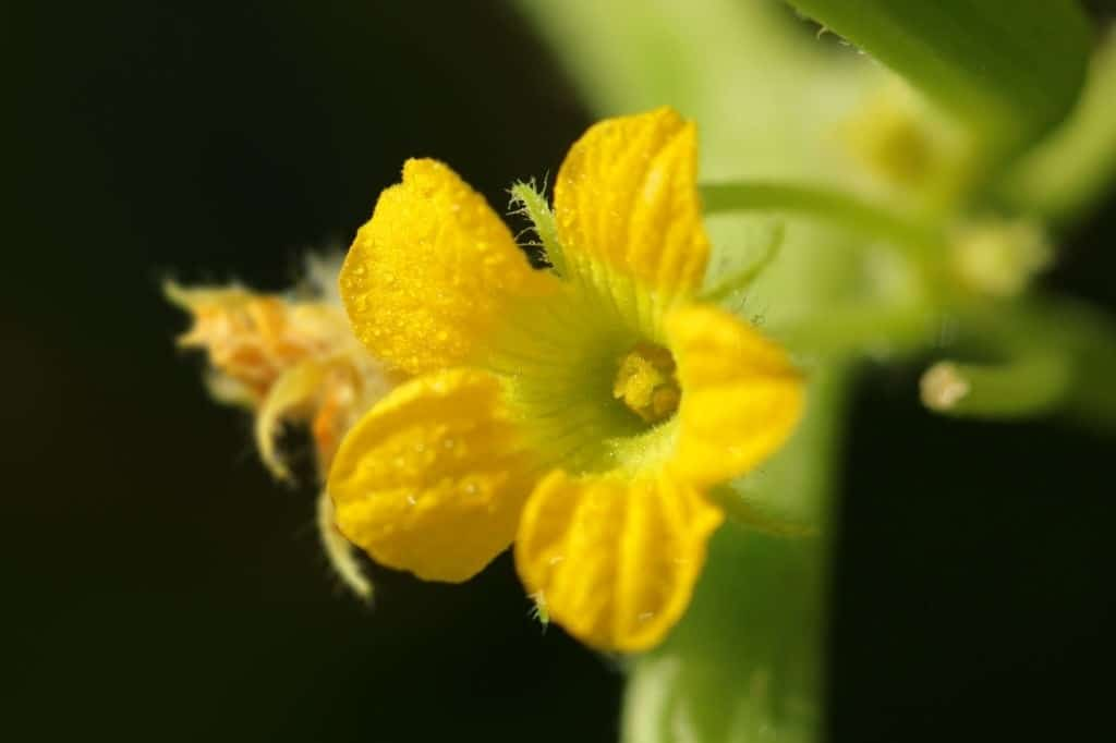 cucumber plant flowering too early