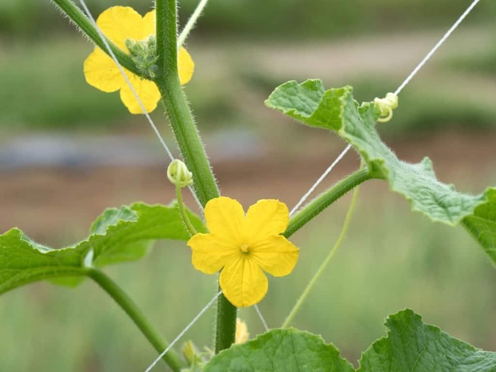 do male cucumber flowers produce fruit