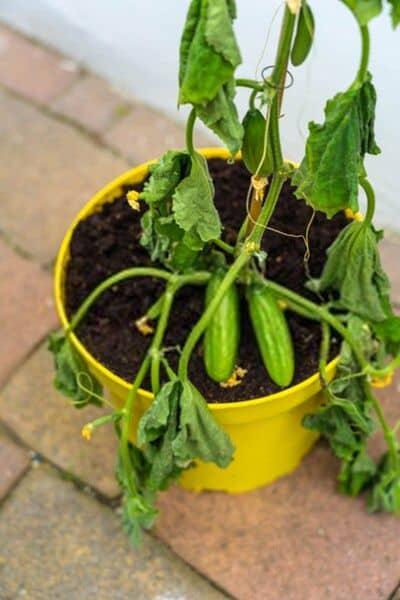 fusarium wilt cucumber