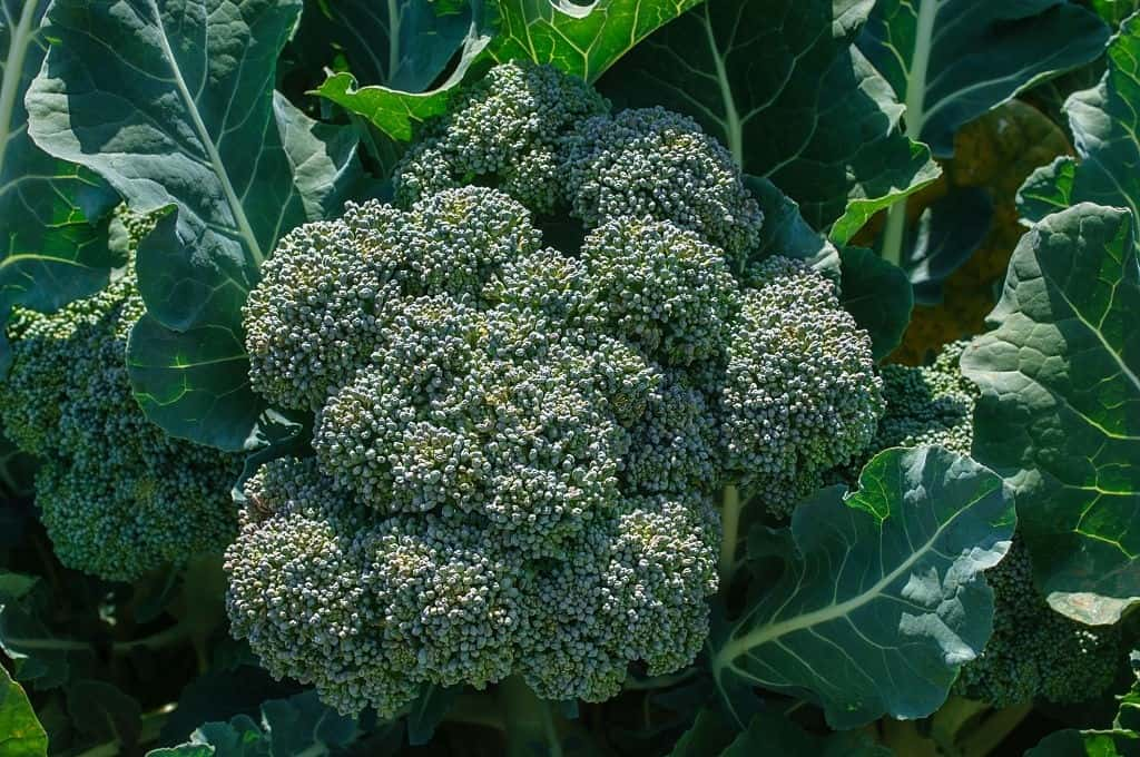 when to plant broccoli for fall harvest