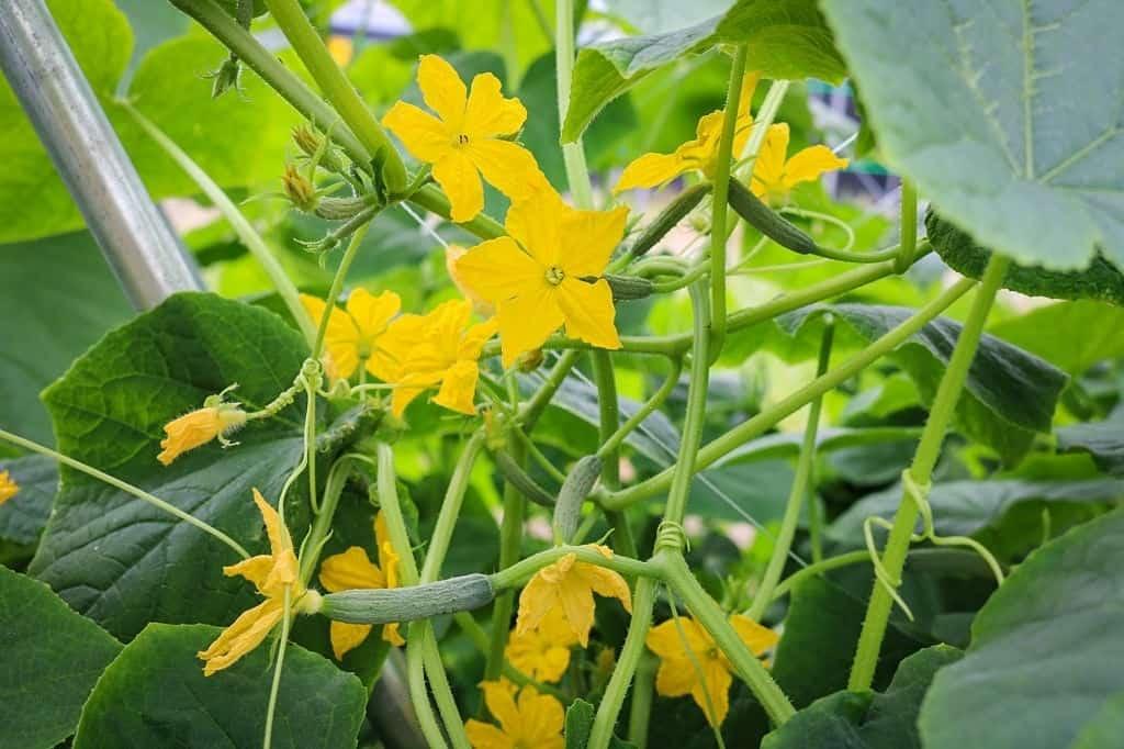 Yellow female flower of cucumber